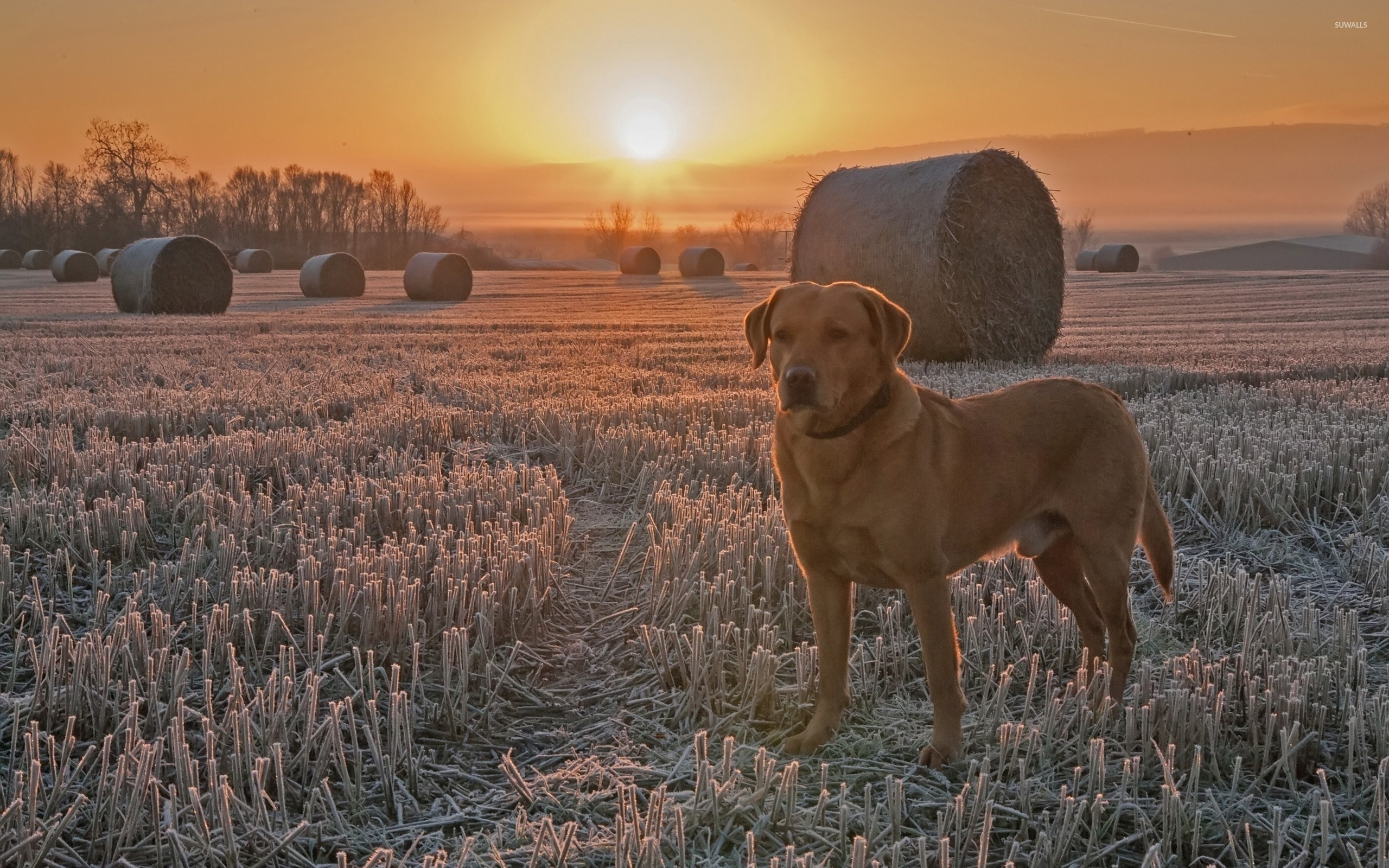 Dog at sunset wallpaper - Animal wallpapers - #47051