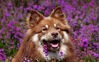 Dog in lavender field wallpaper 1920x1200 jpg