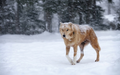 Dog in the heavy snowfall wallpaper