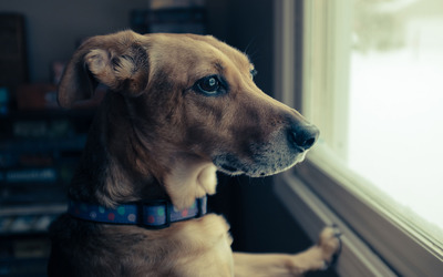 Dog looking out the window wallpaper