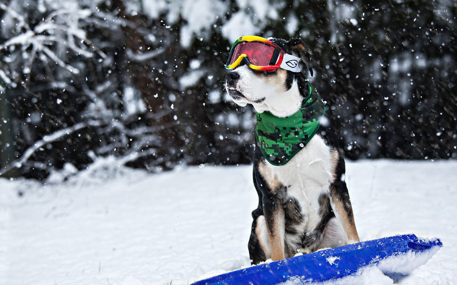 Dog on a snowboard wallpaper