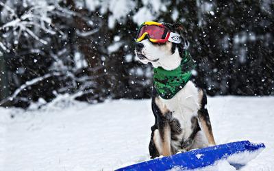 Dog on a snowboard wallpaper