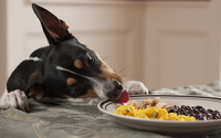 Dog reaching for the food wallpaper 1920x1200 jpg
