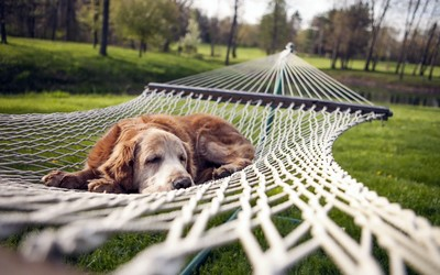 Dog resting in a hammock wallpaper