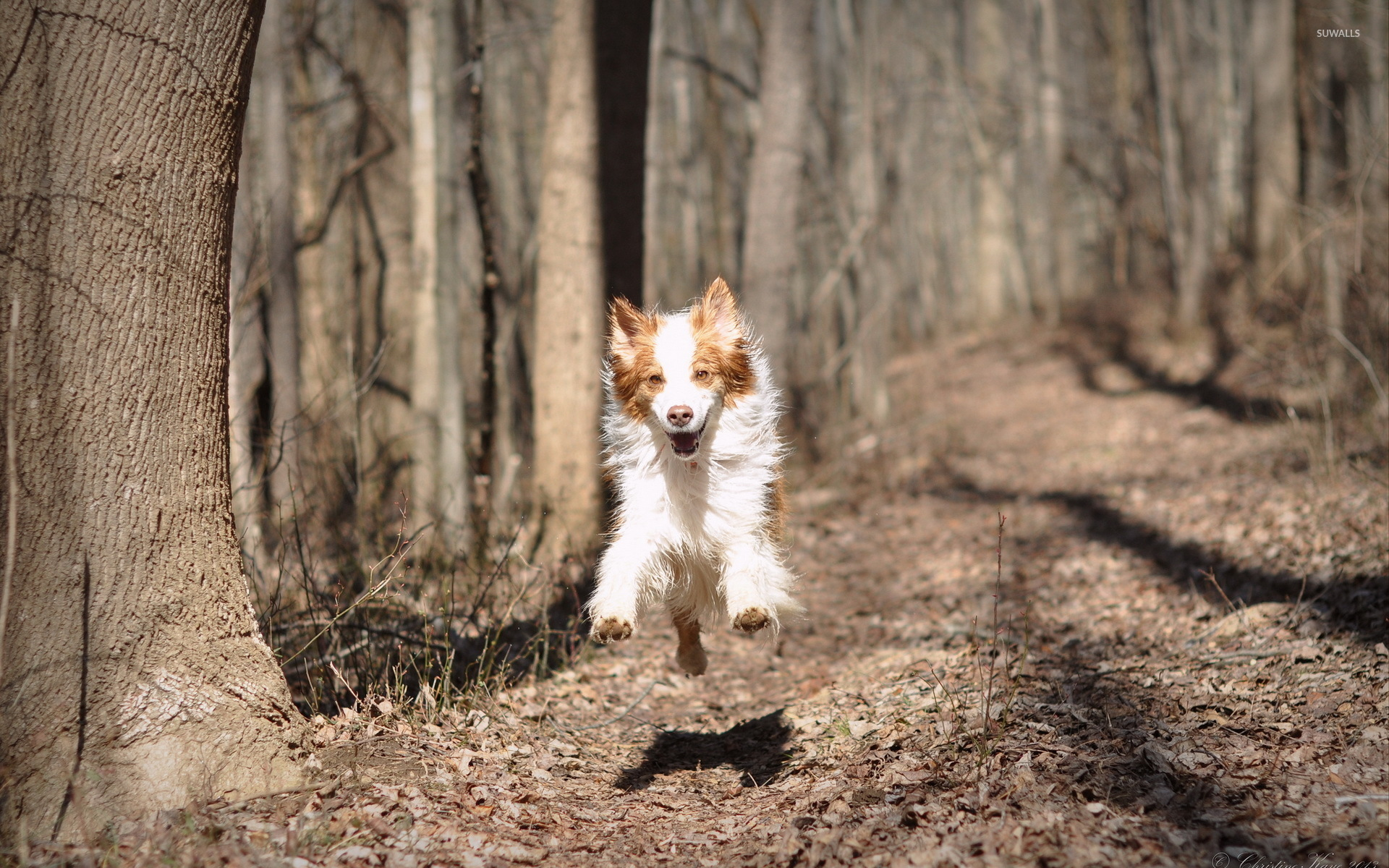dog running in the autumn forest wallpaper   animal