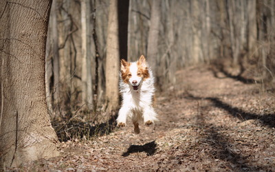 Dog running in the autumn forest wallpaper