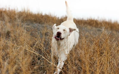 Dog running with a funny face wallpaper