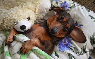 Dog sleeping with a teddy bear wallpaper