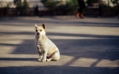 Dog standing wallpaper