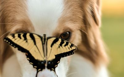 Dog staring at a butterfly wallpaper