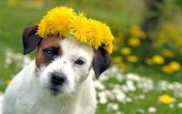 Dog with a crown wallpaper 1920x1200 jpg
