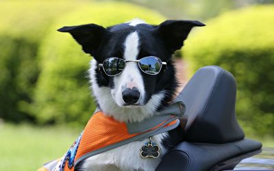 Dog with sunglasses wallpaper