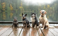 Dogs on a pier wallpaper 1920x1200 jpg