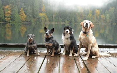 Dogs on a pier wallpaper