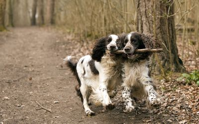 Dogs playing with a stick wallpaper