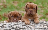 Dogue de Bordeaux puppies wallpaper 1920x1080 jpg