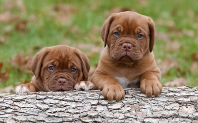 Dogue de Bordeaux puppies wallpaper
