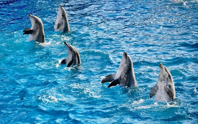 Dolphins in show wallpaper
