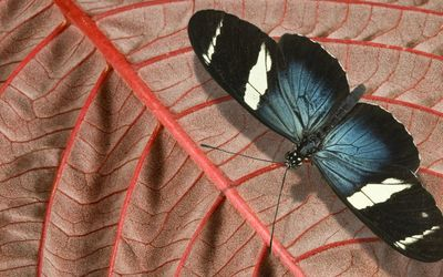 Doris longwing wallpaper