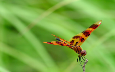 Dragonfly [7] wallpaper