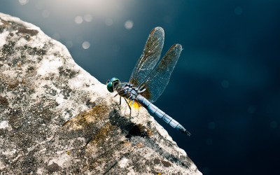 Dragonfly on a rock wallpaper