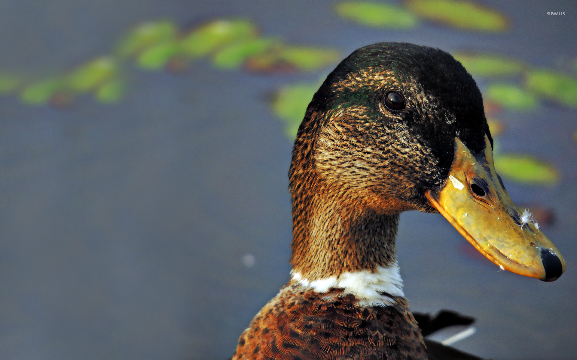 Duck wallpaper Animal wallpapers 15259