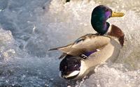 Duck [2] wallpaper 3840x2160 jpg