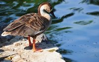 Duck on a rock near the water wallpaper 1920x1200 jpg