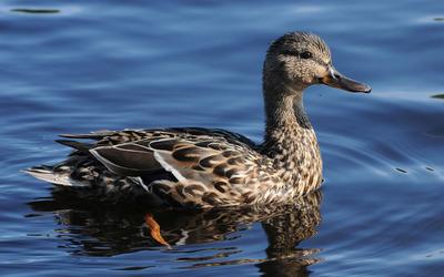 Duck swimming wallpaper