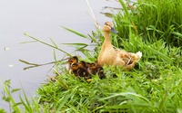 Duck with ducklings wallpaper 2880x1800 jpg