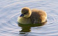 Duckling [2] wallpaper 1920x1200 jpg