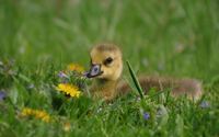 Duckling in the grass wallpaper 1920x1200 jpg