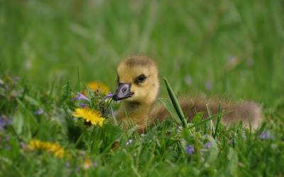 Duckling in the grass wallpaper