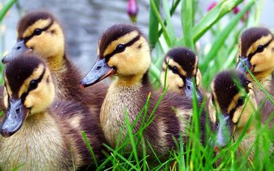 Ducklings wallpaper