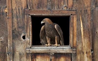 Eagle [4] wallpaper