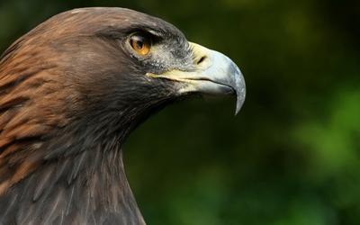 Eagle [3] wallpaper