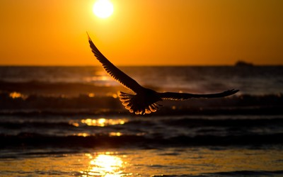 Eagle in the sunset wallpaper