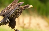 Eagle taking off wallpaper 1920x1080 jpg