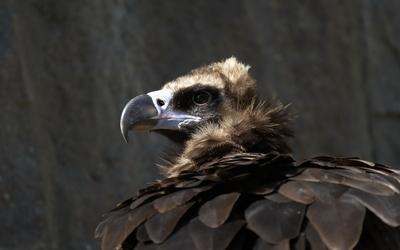 Eaglet [2] wallpaper