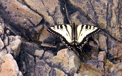 Eastern tiger swallowtail wallpaper