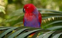 Eclectus Parrot wallpaper 2560x1600 jpg