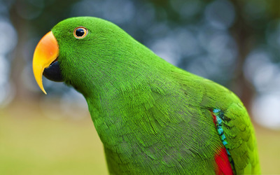 Eclectus Parrot [2] Wallpaper