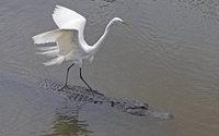 Egret on an alligator wallpaper 1920x1080 jpg