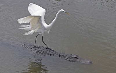 Egret on an alligator wallpaper