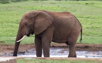 Elephant [4] wallpaper