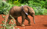 Elephant calf walking wallpaper 3840x2160 jpg
