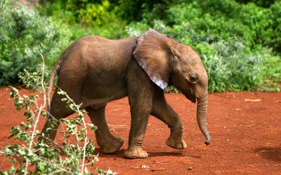 Elephant calf walking wallpaper