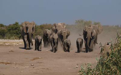 Elephant herd wallpaper