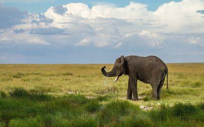Elephant on the field drinking water wallpaper
