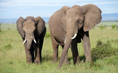 Elephants [5] wallpaper
